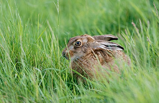 Brown hare (Lepus europaeus) about 10 weeks old, may, England : Stock Photo