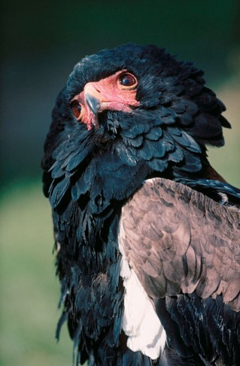 Bateleur (Terathopius ecaudatus) : Stock Photo