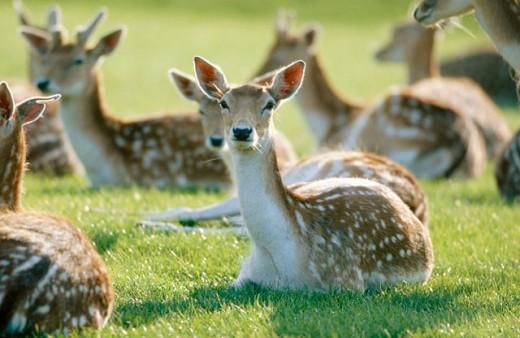 Fallow Deers (Dama dama) : Stock Photo