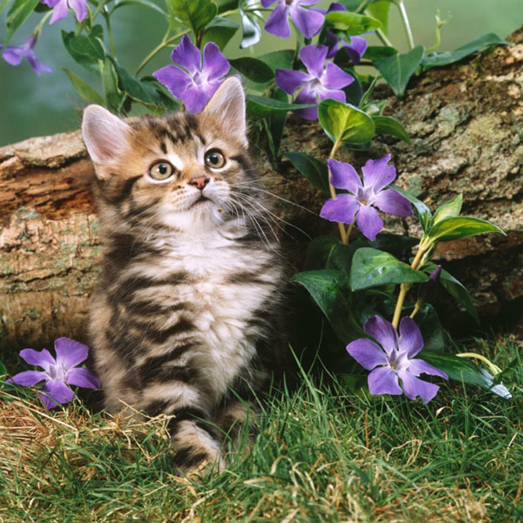 Tabby kitten and flowers : Stock Photo