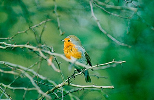 Robin (Erithacus rubecula) singing : Stock Photo