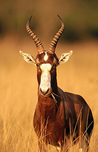 Blesbok (Damaliscus dorcas phillipsi) South Africa : Stock Photo