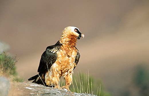 Stock Photo: 1566-084750 Bearded Vulture (Gypaetus barbatus). Giant´s Castle Nature Reserve. South Africa