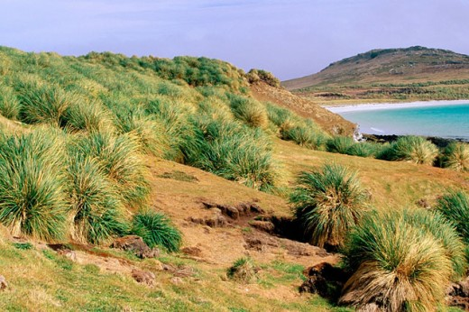 Tussok Grass (Poa flabellata) in flower. Falkland Islands : Stock Photo