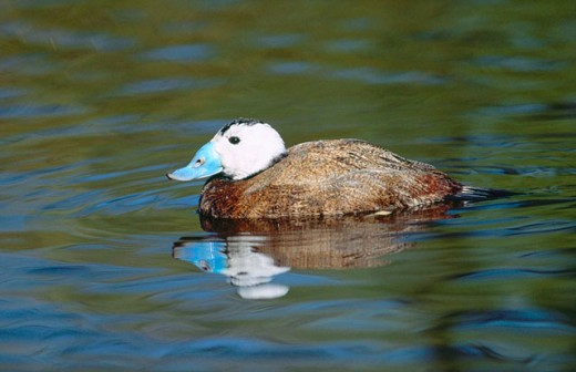 White-headed Duck (Oxyura leucocephala) : Stock Photo