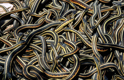Stock Photo: 1566-088015 Red-sided Garter Snakes (Thamnophis sirtalis parietalis). Manitoba. Canada