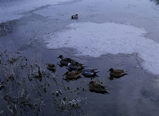 Wild ducks on frozen pond. England : Stock Photo