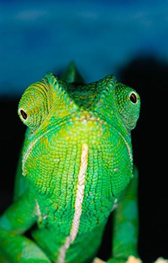 Stock Photo: 1566-088191 Chameleon (Chamaleo dilepsis). Masai Mara. Kenya.