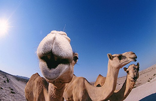 Camels (Camelus dromedarius). Bahrain : Stock Photo
