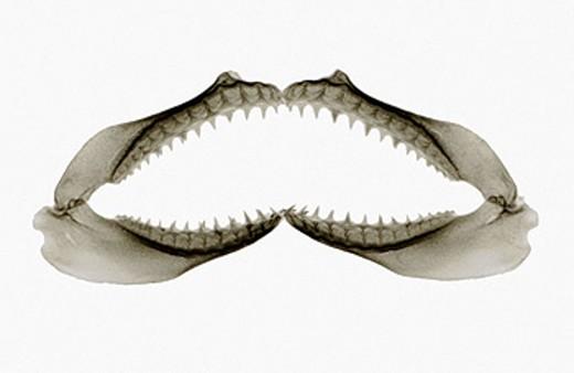 X-Ray of Sharks jaw : Stock Photo