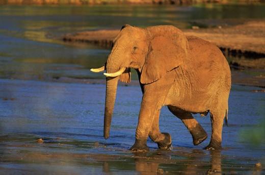 African Elephant (Loxodonta africana). Samburu Game Reserve. Kenya : Stock Photo