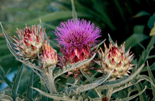 Cardoon (Cynara cardunculus) and Globe Artichoke (Cynara scolymus) : Stock Photo