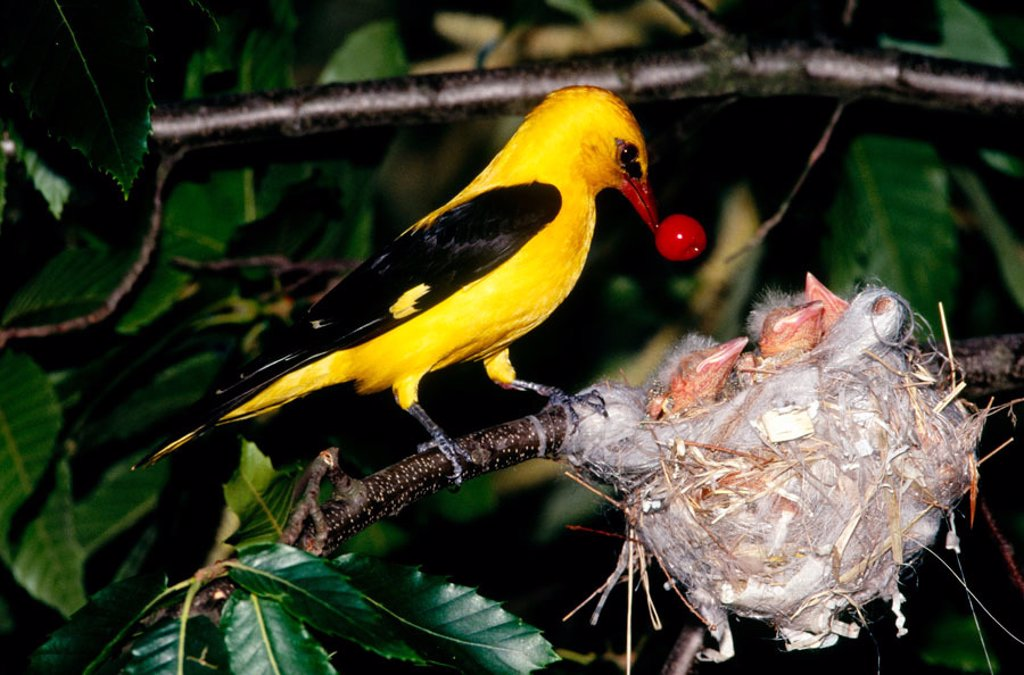 Stock Photo: 1566-092965 Golden Oriole (Oriolus oriolus) feeding chicks