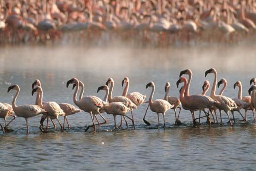 Stock Photo: 1566-092970 Lesser Flamingoes (Phoeniconaias minor). Lake Bogoria. Kenya