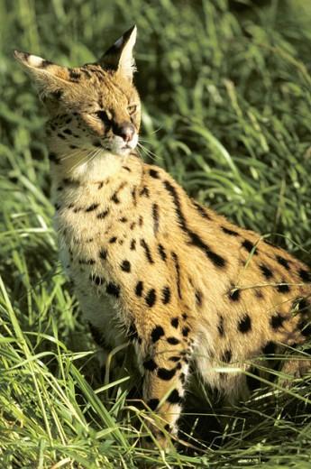 Serval (Felis serval) : Stock Photo