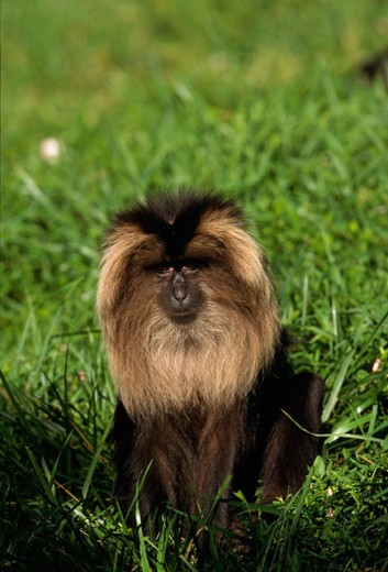 Lion-tailed Macaque (Macaca silenus) : Stock Photo