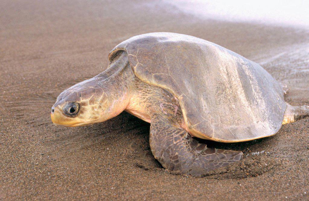 Stock Photo: 1566-093455 Olive Ridley Sea Turtle (Lepidochelys olivacea)