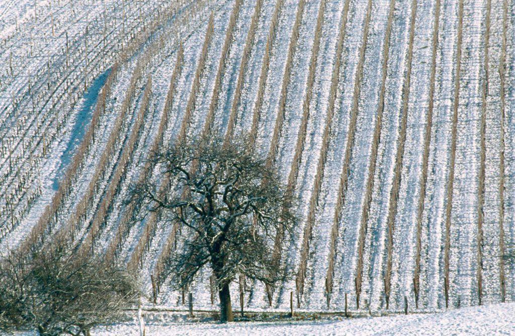Stock Photo: 1566-093488 Vineyard in witer. France