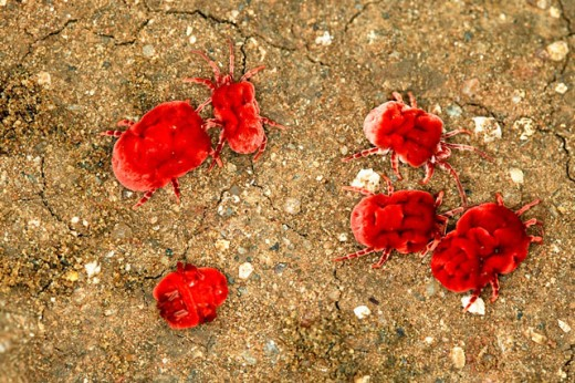 Stock Photo: 1566-093584 Velvet Mites (Dinothrombium spp.)