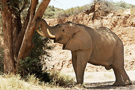 Stock Photo: 1566-093721 Elephant