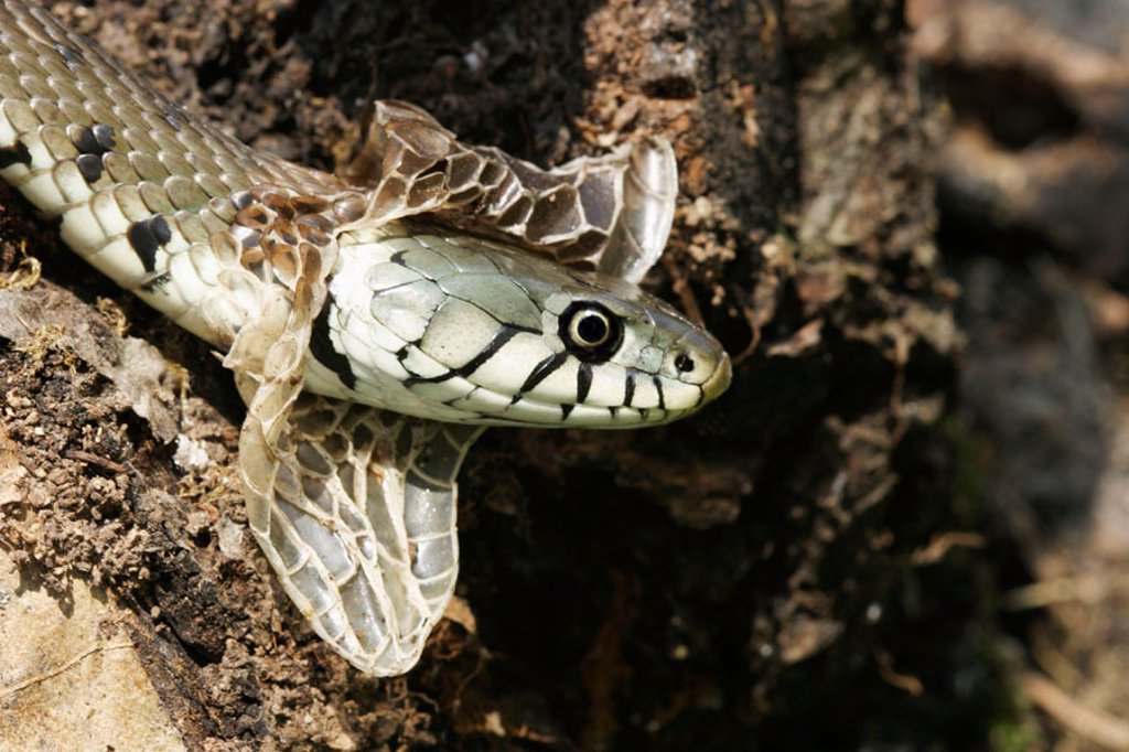 Stock Photo: 1566-093843 Grass Snake (Natrix natrix)
