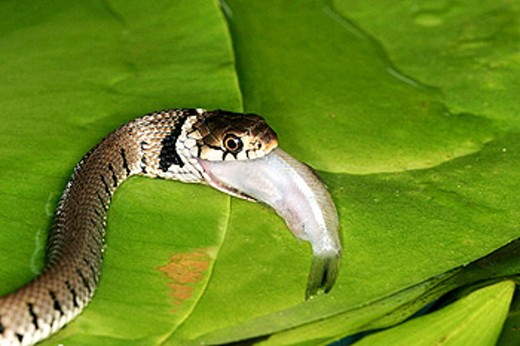 Grass Snake (Natrix natrix) : Stock Photo