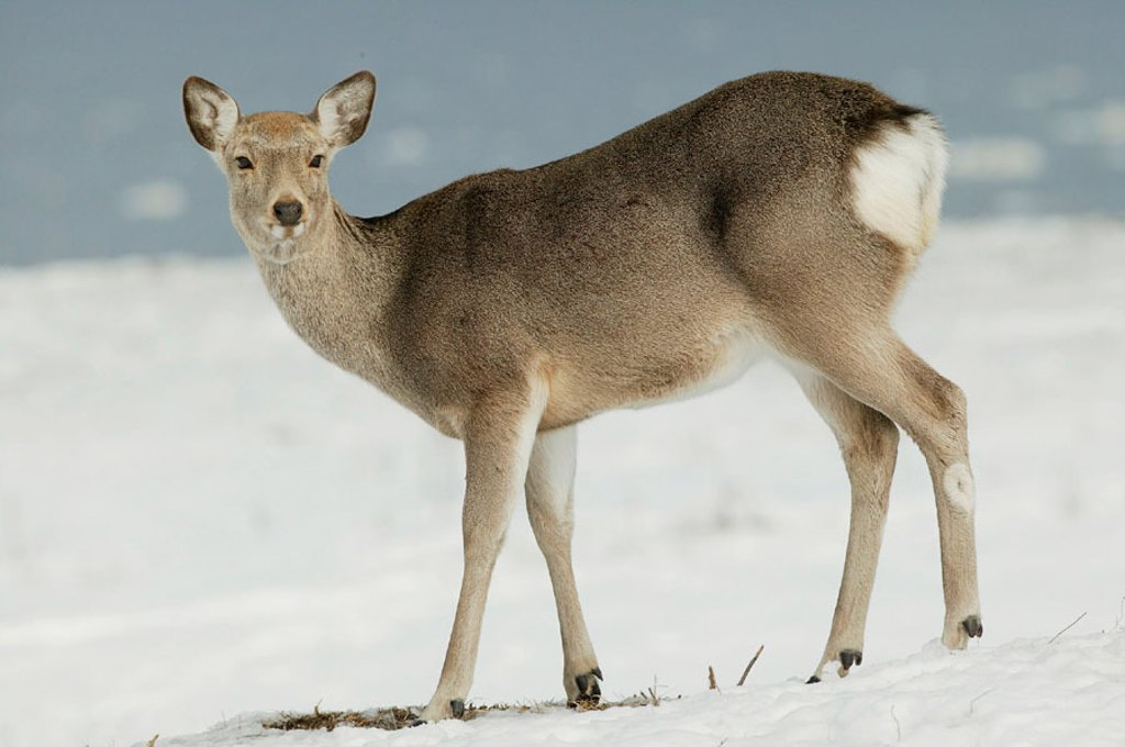 Stock Photo: 1566-094003 Sika Deer (Cervus nippon). Hokkaido, Japan