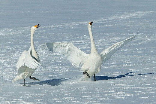 Stock Photo: 1566-094078 Whooper Swans (Cygnus cygnus)