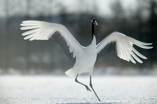 Stock Photo: 1566-094127 Red-Crowned Crane (Grus japonensis). Hokkaido, Japan