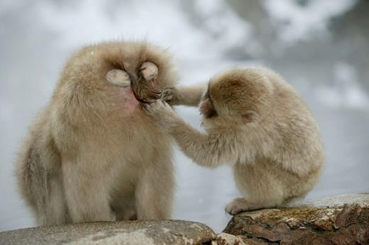 Stock Photo: 1566-094187 Japanese Macaque (Macaca fuscata)