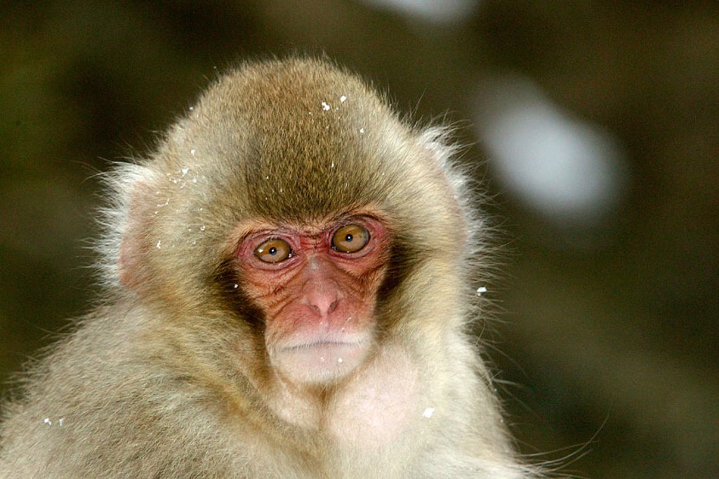 Stock Photo: 1566-094191 Japanese Macaque (Macaca fuscata)