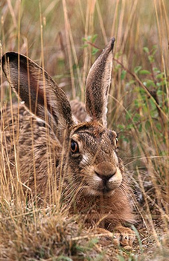 Brown Hare (Lepus capensis) : Stock Photo
