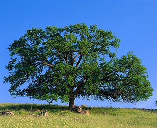 Oak tree. California. USA : Stock Photo