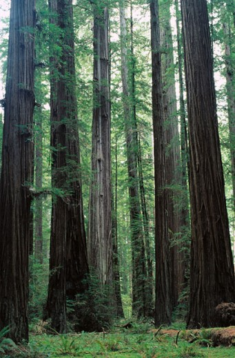 Redwoods (Sequoia sempervirens).Rockefeller Grove. Humboldt Redwoods State Park. California. USA : Stock Photo