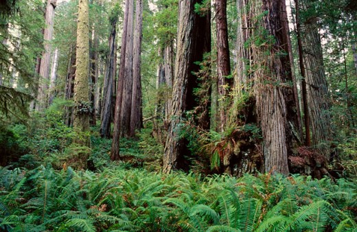 Stock Photo: 1566-094893 Redwoods (Sequoia sempervirens) and epiphytic ferns (Pteridium aquilinum). Pairie Creek Redwoods State Park. California. USA