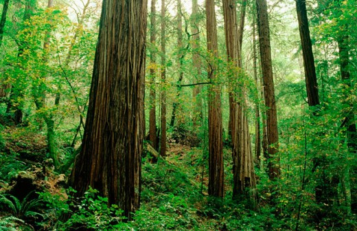 Redwood (Sequoia sempervirens) forest. Muir Woods National Monument. Marin County. California. USA : Stock Photo