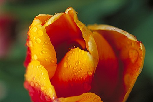 Stock Photo: 1566-096298 Flower