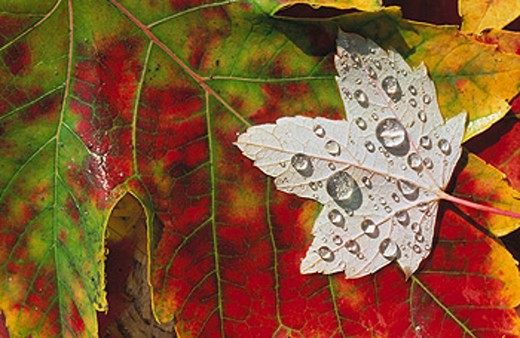 Stock Photo: 1566-096395 Autumn leaf with dew