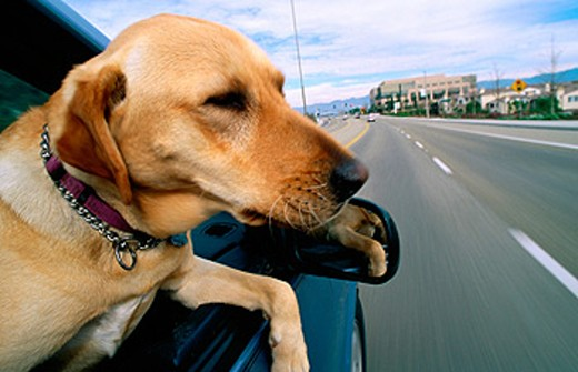 Stock Photo: 1566-096493 Dog hanging out car window
