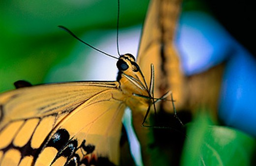 Swallowtail (Papilio multicaudata) : Stock Photo