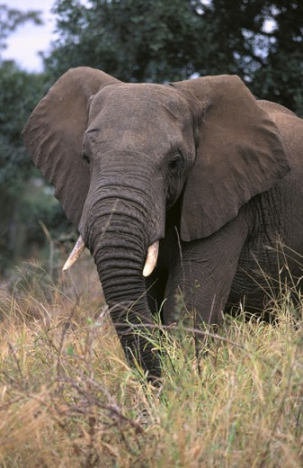 African Elephant (Loxodonta africana). Kruger NP. South Africa : Stock Photo