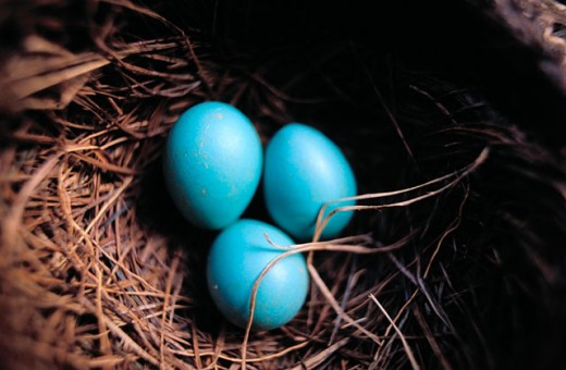 Robin´s eggs in nest : Stock Photo