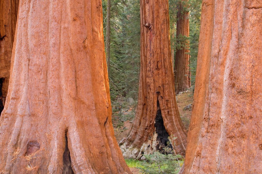Stock Photo: 1566-1000106 Sequoia Sequoia sempervirens trunks at Grant Grove, Kings Canyon National Park, California