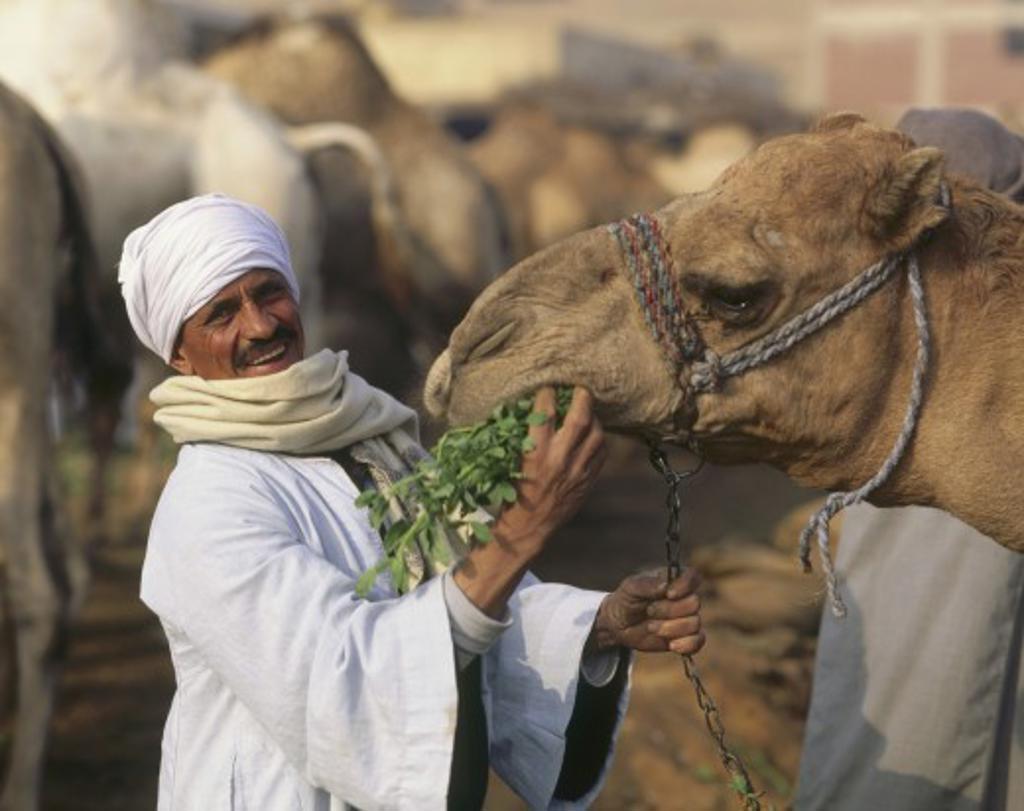 Camels market near Cairo, Egypt : Stock Photo