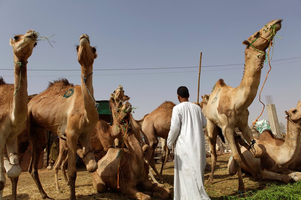 Camel market in Birqash, Cairo, Egypt : Stock Photo