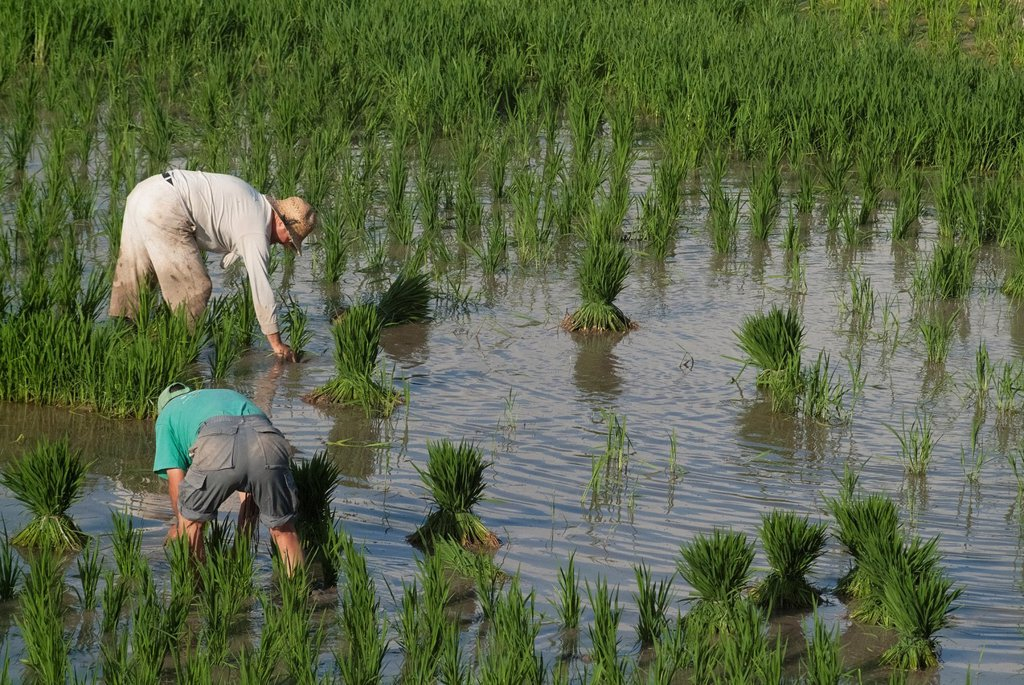 Farmers working in the field of rice, rice picking, Favara, Albufera, Valencia, Spain : Stock Photo