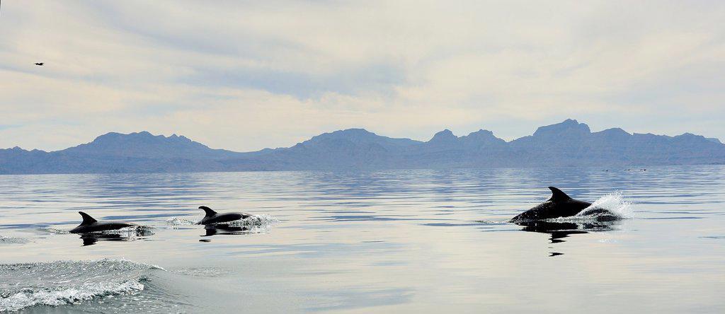Stock Photo: 1566-1002551 Mexico, Baja California, Bottlenose dolphins Tursiops and Sierra La Giganta