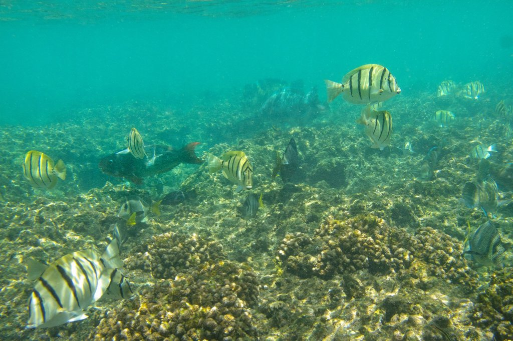 Mexico, Baja California, Cabo Pulmo National Marine Park, Bahia Los Frailes, Coral reef, Sergeant Major fish : Stock Photo