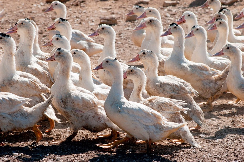 Stock Photo: 1566-1003462 Ducks, Duck farm, Foie gras factory, Preixana, L´Urgell, Catalonia, Spain