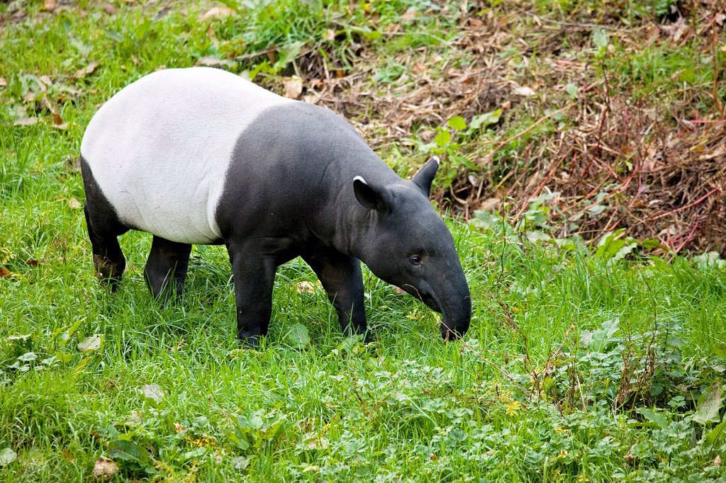Malayan Tapir, tapirus indicus, Adult : Stock Photo